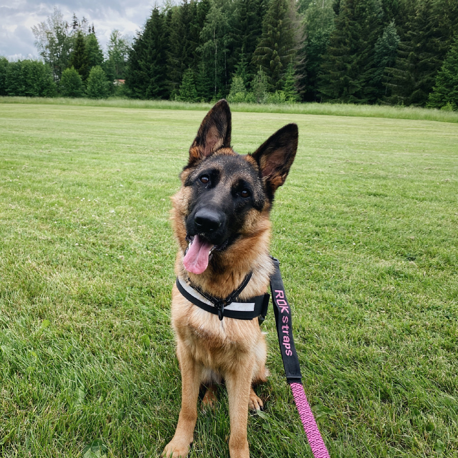 Porträtt av schäferhunden Doris på en gräsmatta