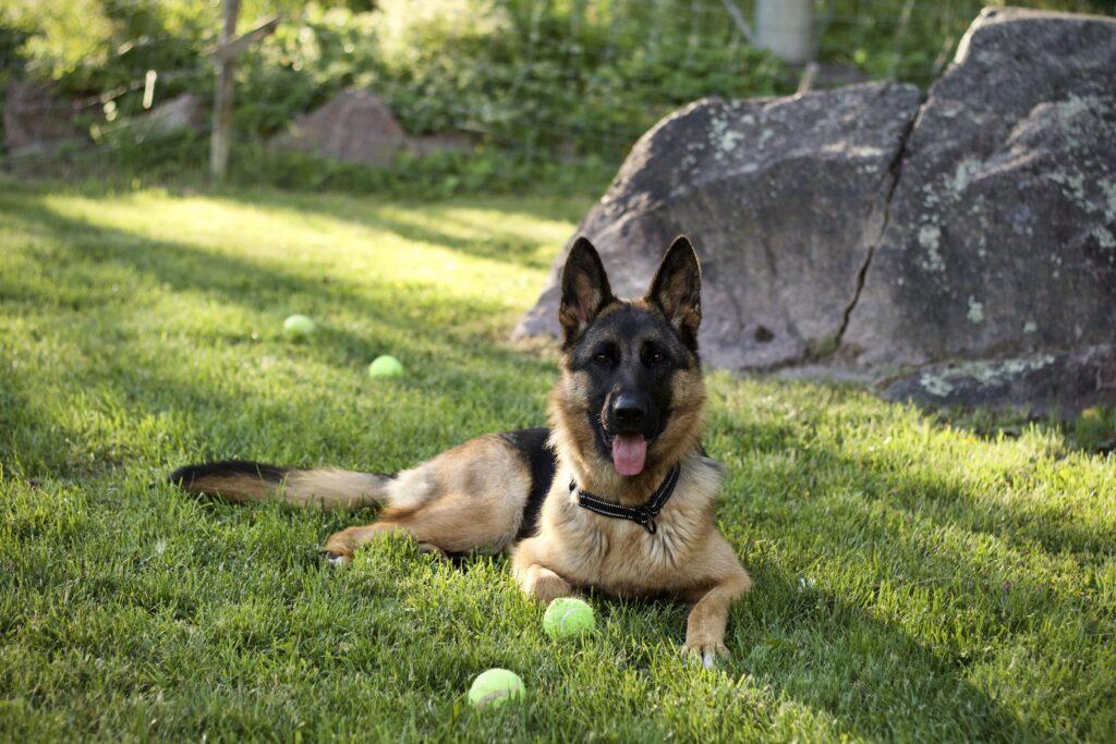 Doris, Schäfer på 11 månader på en gräsmatta med några tennisbollar runt sig
